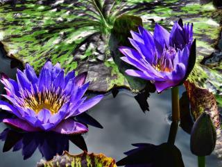 water lilies, purple, steam wallpaper