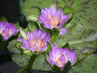 water lilies, water, lake wallpaper