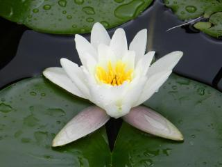 water lily, water, droplets wallpaper