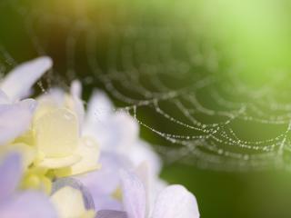web, drops, flowers wallpaper
