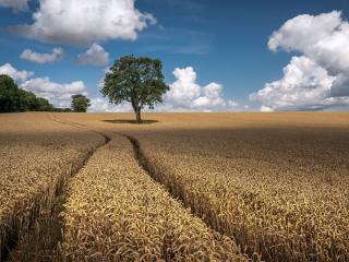 Wheat 4k Field wallpaper
