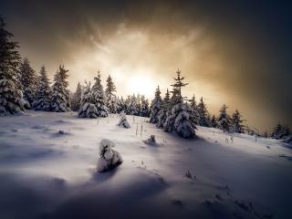 Winter Spruce wallpaper