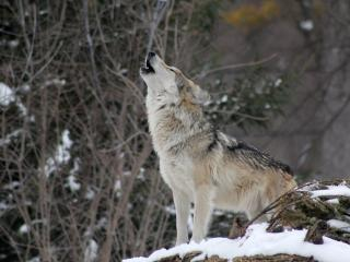 wolf, howling, snow wallpaper