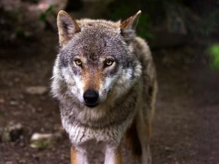 wolf, predator, snout wallpaper