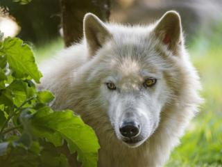 wolf, predatory, view wallpaper