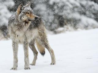 wolf, snow, winter wallpaper