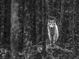 Wolf Walking In Jungle Monochrome wallpaper
