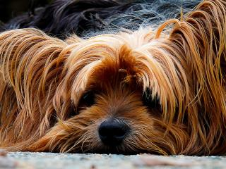 yorkshire terrier, dog, muzzle wallpaper