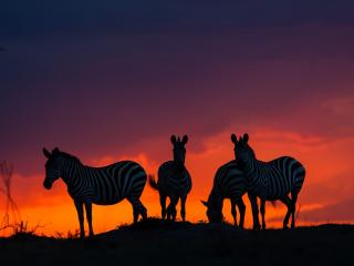 Zebras In Sunset wallpaper