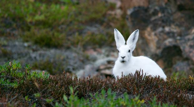 arctic hare, hare, polar Wallpaper