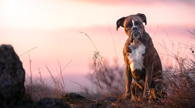 HD Wallpaper | Background Image Boxer Dog