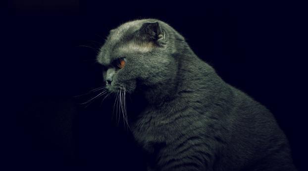 British Shorthair Cat Wallpaper 1680x1050 Resolution
