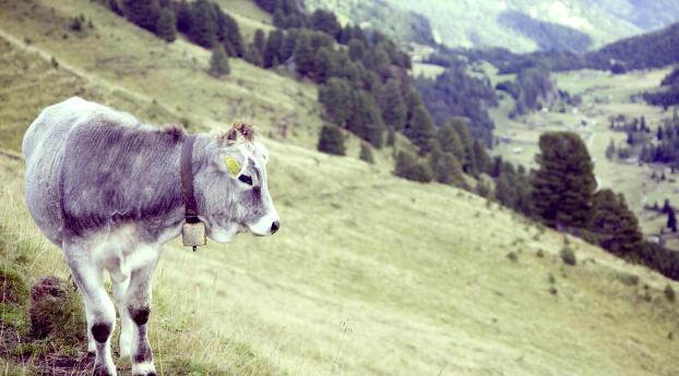 bull, cow, grass Wallpaper