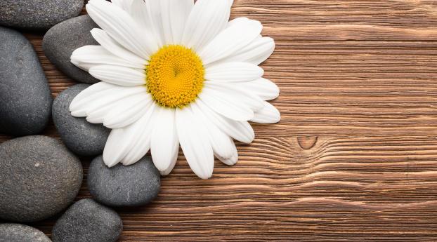 Camomiles Stones White Flower Wallpaper 1440x900 Resolution