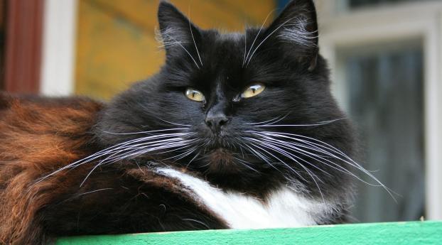 cat, fluffy, thick Wallpaper