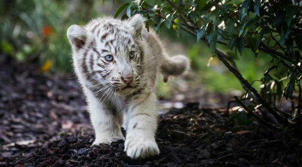 Cute Cub Bengal White Tiger Wallpaper 1440x1440 Resolution