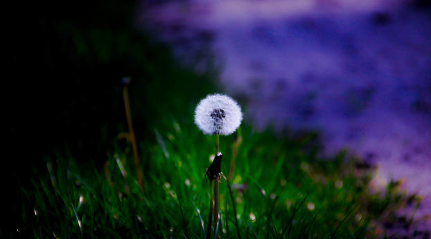 HD Wallpaper | Background Image Dandelion Macro