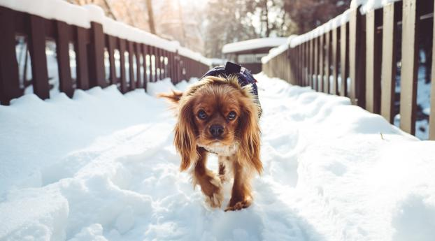 dog, walking, winter Wallpaper