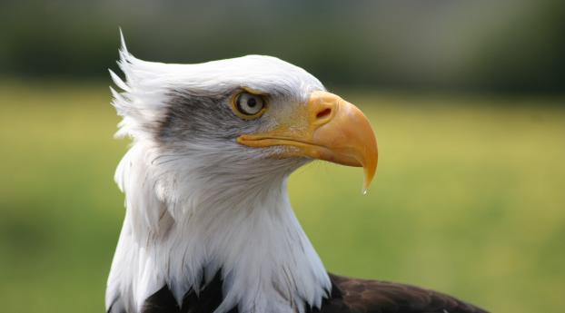 eagle, bird, predator Wallpaper