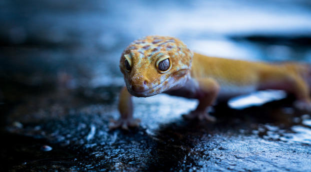 Gecko Portrait Wallpaper in 640x960 Resolution