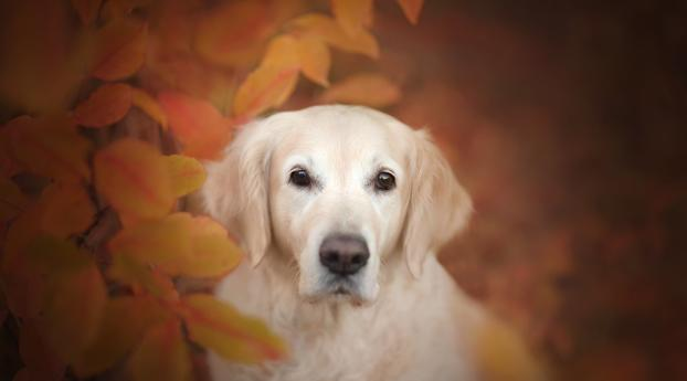 HD Wallpaper | Background Image Golden Retriever Dog