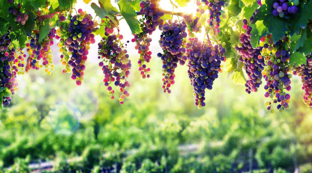 HD Wallpaper | Background Image Grape