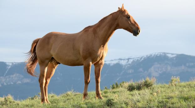 horse, stallion, grass Wallpaper