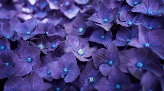 HD Wallpaper | Background Image Hydrangea Violet Flowers