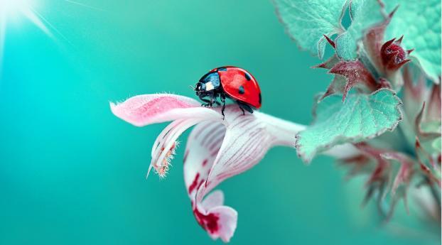 HD Wallpaper | Background Image Insect Ladybug Macro