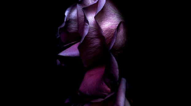 Ios 11 Purple Rose Wallpaper Hd Brands 4k Wallpapers