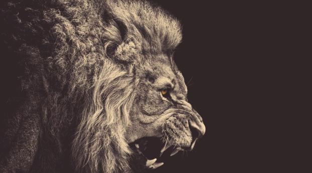 lion, mane, big cat Wallpaper