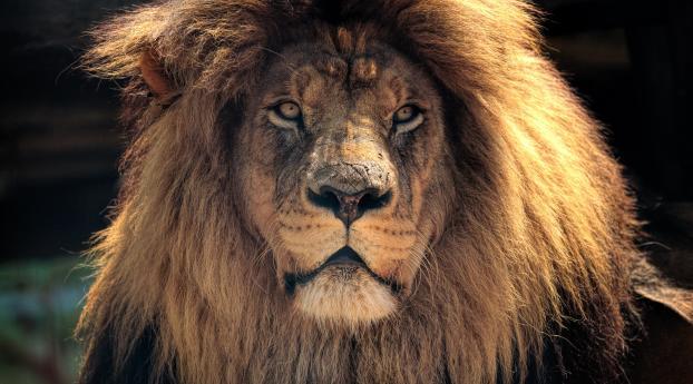HD Wallpaper | Background Image Lion