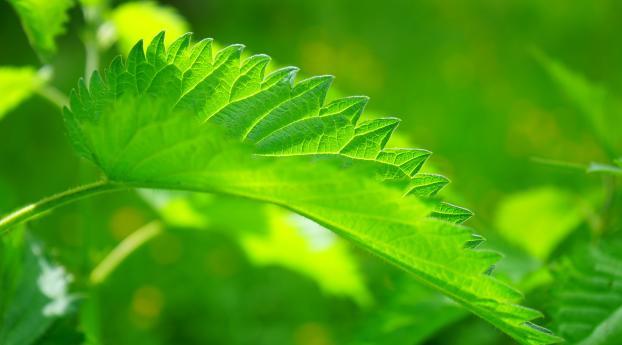 HD Wallpaper | Background Image nettle, leaf, close-up