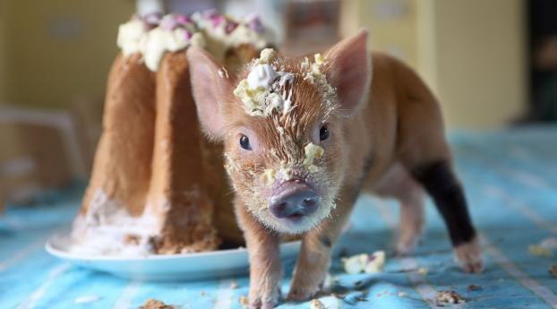 pig, cake, soiled Wallpaper
