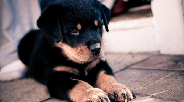 puppy, rottweiler, dog Wallpaper