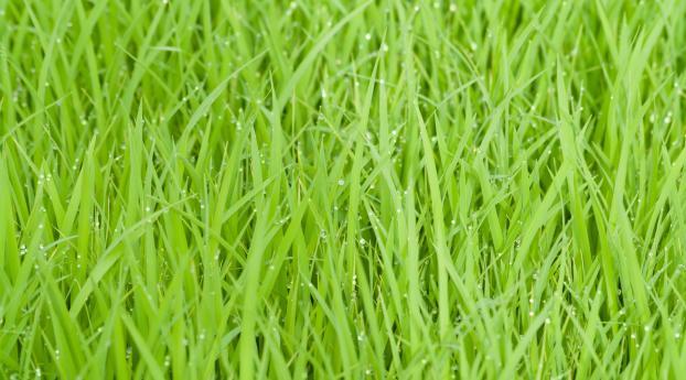 1242x2688 Rice Fields Green Grass Iphone Xs Max Wallpaper