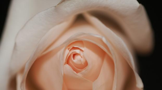 HD Wallpaper | Background Image rose, bud, petals