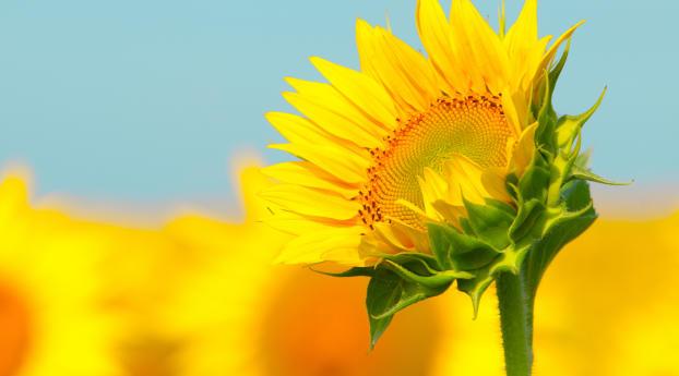 Sunflowers Macro Wallpaper 480x800 Resolution