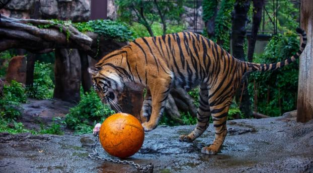 750x1334 Tiger Ball Zoo Iphone 6 Iphone 6s Iphone 7