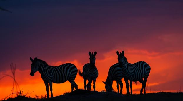 HD Wallpaper | Background Image Zebras In Sunset